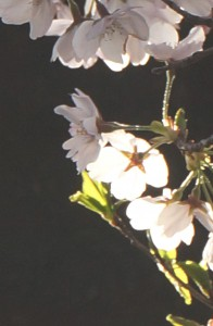 2017年桜  photo by soin